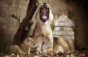 Roaring Lion and Cubs